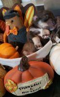 Miniature Schnauzer Puppies for sale in Summerville, SC, USA. price: NA