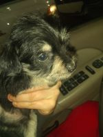 Miniature Schnauzer Puppies for sale in Lakewood Village, TX 75068, USA. price: NA