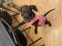 Miniature Schnauzer Puppies for sale in Mililani, HI 96789, USA. price: NA