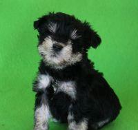 Miniature Schnauzer Puppies for sale in Gilbert, AZ, USA. price: NA