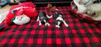 Miniature Schnauzer Puppies for sale in Ruston, LA 71270, USA. price: NA