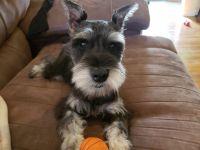 Miniature Schnauzer Puppies for sale in Waldwick, NJ 07463, USA. price: NA