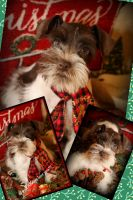 Miniature Schnauzer Puppies for sale in Fayetteville, AR 72701, USA. price: NA