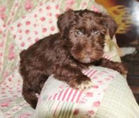 Miniature Schnauzer Puppies for sale in Sylvania, GA 30467, USA. price: NA