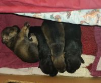 Miniature Schnauzer Puppies for sale in Colorado Springs, CO, USA. price: NA