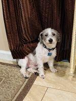 Miniature Schnauzer Puppies for sale in Hillsborough Township, NJ 08844, USA. price: NA