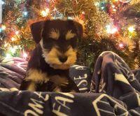 Miniature Schnauzer Puppies for sale in Limestone, TN 37681, USA. price: NA