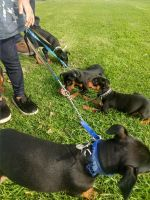 Miniature Schnauzer Puppies for sale in Los Angeles, CA 90003, USA. price: NA