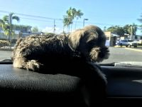 Miniature Schnauzer Puppies for sale in West Springfield, MA 01089, USA. price: NA