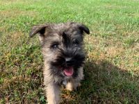 Miniature Schnauzer Puppies for sale in Erial, NJ 08081, USA. price: NA