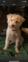 Miniature Schnauzer Puppies for sale in Lehman Township, PA 18324, USA. price: NA