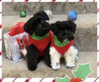 Miniature Schnauzer Puppies for sale in Urbana, MD 21704, USA. price: NA