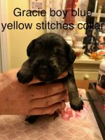 Miniature Schnauzer Puppies for sale in 1273 Old State Hwy 20, Alexander, NC 28701, USA. price: NA