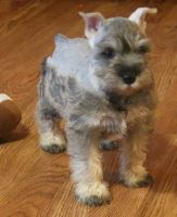 Miniature Schnauzer Puppies for sale in Lansing, MI, USA. price: NA