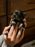 Miniature Schnauzer Puppies for sale in Baltic, SD 57003, USA. price: NA
