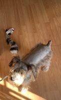 Miniature Schnauzer Puppies for sale in Aurora, CO, USA. price: NA