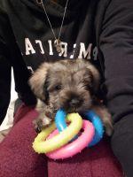 Miniature Schnauzer Puppies for sale in Brunswick, GA, USA. price: NA