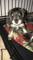 Miniature Schnauzer Puppies for sale in North Las Vegas, NV, USA. price: NA