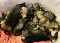 Miniature Schnauzer Puppies for sale in Springfield, MO, USA. price: NA