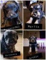 Miniature Schnauzer Puppies for sale in Alto, GA 30510, USA. price: NA
