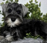 Miniature Schnauzer Puppies for sale in Galveston, TX, USA. price: NA