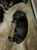 Miniature Schnauzer Puppies for sale in Riverview, FL, USA. price: NA