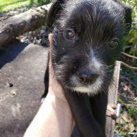 Miniature Schnauzer Puppies for sale in Montgomery, AL, USA. price: NA