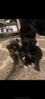 Miniature Schnauzer Puppies for sale in 1216 Beach Ave, The Bronx, NY 10472, USA. price: NA