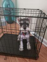Miniature Schnauzer Puppies for sale in Lawrenceville, GA, USA. price: NA