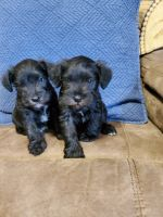 Miniature Schnauzer Puppies for sale in Bloomington, IN 47404, USA. price: NA