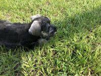 Miniature Schnauzer Puppies for sale in Port Charlotte, FL, USA. price: NA