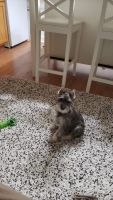 Miniature Schnauzer Puppies for sale in Pittsburgh, PA, USA. price: NA