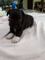 Miniature Schnauzer Puppies for sale in Pomeroy, OH, USA. price: NA