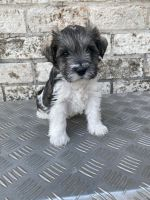 Miniature Schnauzer Puppies for sale in Corpus Christi, TX, USA. price: NA