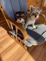 Miniature Schnauzer Puppies for sale in Hudson, WI 54016, USA. price: NA