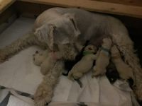 Miniature Schnauzer Puppies for sale in Valdosta, GA, USA. price: NA