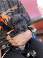 Miniature Schnauzer Puppies for sale in Winston-Salem, NC, USA. price: NA