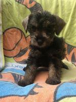 Miniature Schnauzer Puppies for sale in Sacramento, CA 94206, USA. price: NA