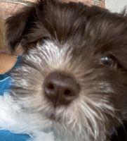 Miniature Schnauzer Puppies for sale in Huntsville, AL, USA. price: NA