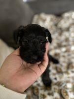 Miniature Schnauzer Puppies for sale in Vista, CA, USA. price: NA