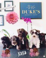 Miniature Schnauzer Puppies for sale in Chicago, IL, USA. price: NA