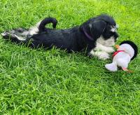 Miniature Schnauzer Puppies for sale in Atlanta, GA, USA. price: NA
