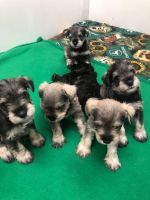 Miniature Schnauzer Puppies for sale in Hastings, MN 55033, USA. price: NA