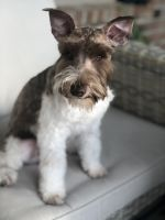 Miniature Schnauzer Puppies for sale in Cypress, TX, USA. price: NA