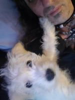 Miniature Schnauzer Puppies for sale in Moundsville, WV 26041, USA. price: NA