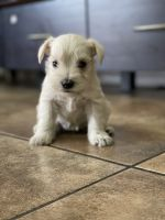 Miniature Schnauzer Puppies for sale in 1517 Jantzen Dr, Colton, CA 92324, USA. price: NA