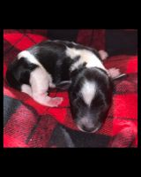 Miniature Schnauzer Puppies for sale in Hammond, LA, USA. price: NA