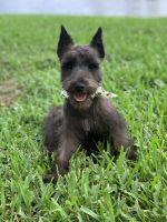 Miniature Schnauzer Puppies for sale in West Palm Beach, FL, USA. price: NA