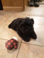 Miniature Schnauzer Puppies for sale in Appleton, WI, USA. price: NA