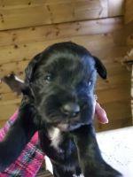 Miniature Schnauzer Puppies for sale in Ruidoso, NM, USA. price: NA